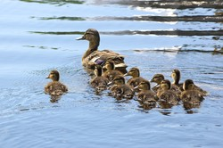 A mother duck leading and nurturing her ducklings. Just like your lead nurturing, not all your leads blindly follow along. That's why you have to track the performance of your lead nurturing